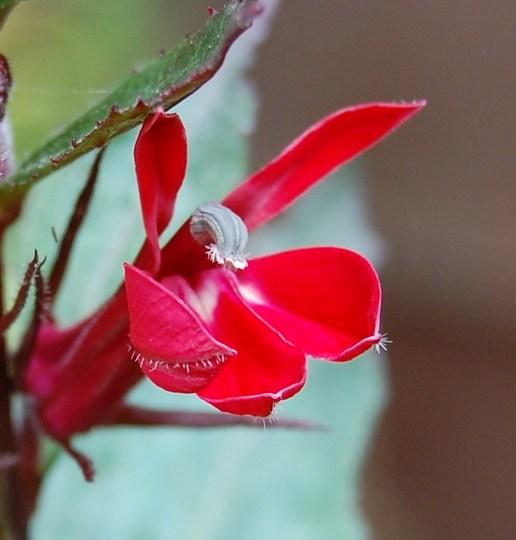 """Lobelia Speciosa """"Fan Scarlet"""" (lobelia speciosa)"""