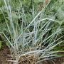 blue grass (Elymus magellanicus)