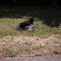 blackbird sunning himself