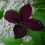 Clematis 'The Black Prince' (Clematis viticella (Viticella Group clematis))