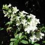 Hydrangea quercifolia 'Snowflake' - 2010 (Hydrangea quercifolia)