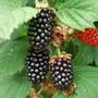 Blackberry.....Black Butte. (Blackberry Black Butte)