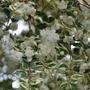 Myrtus or Luma....... (Myrtus Glanleam Gold)