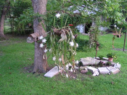 Night Blooming Cereus (Epiphyllum oxypetalum)
