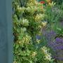 Lonicera Mint Crisp. (Lonicera japonica (Japanese Honeysuckle) Mint Crisp)