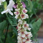Verbascum chaixii. (Verbascum chaixii (Nettle-leafed mullein))