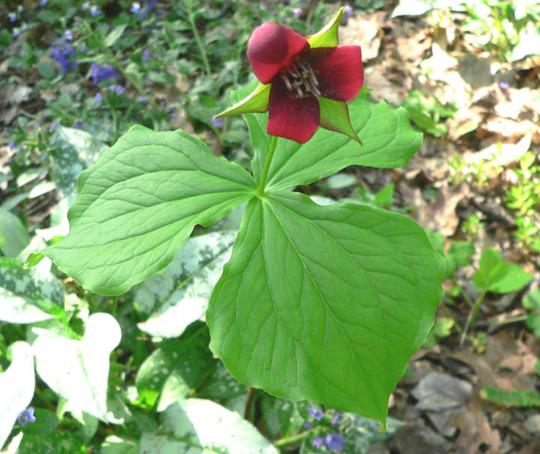 Red Trillium (Trillium erectum)