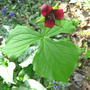 Red Trillium (Trillium erectum)