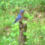 Bluebird_male_stump_5_15_08_exc_sm