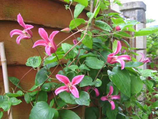 Diana Princess of Wales Clematis
