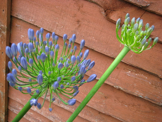 Agapanthus~ first flower since splitting 3 years ago!