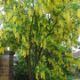 Laburnum x watereri