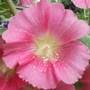 Hollyhock Alcea ficifolia 'Aunt Brownie Fig' dripping pollen (Hollyhock Alcea ficifolia 'Aunt Brownie Fig')