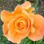 Rose whiskey mac (Rose Whiskey Mac)