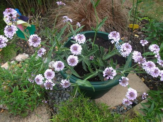Verbena rigida Lilac haze (Verbena rigida Lilac Haze)