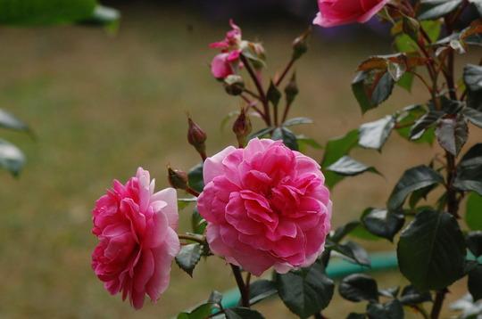 Rosa 'Thank You' (Rosa)