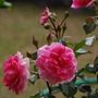 Rosa 'Thank You' (Rosa)