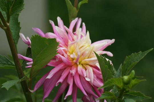 """Dahlia """"Park Princess"""" (Dahlia Pinnata {Cactus dahlia})"""