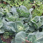 Cabbage growing well (brassica)
