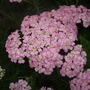 Achillea_tutti_frutti_saucy_seduction_