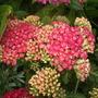 Achillea_tutti_frutti_pink_grapefruit_