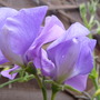 The first sweetpea of the seaon for moi.....
