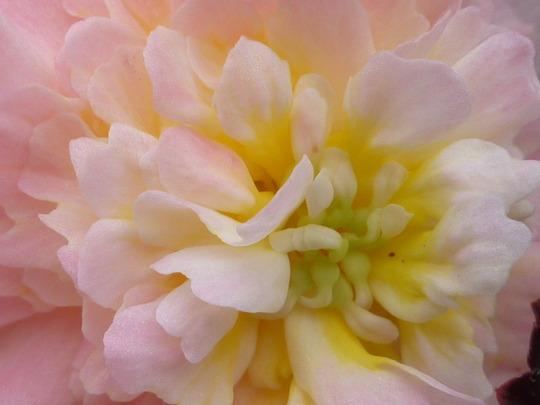 Begonia: Mocha - close-up!