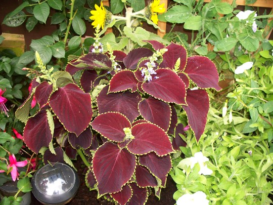 Coleus Chocolate Mint (Coleus)