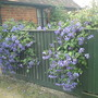 Clematis's coming over the fence