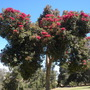 Corymbia ficifolia (previously known as Eucalyptus ficifolia) - Flowering Gum (Corymbia ficifolia - Flowering Gum)