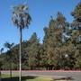 Coccothrinax argentea - Hispaniola Silver Thatch Palm (Coccothrinax argentea - Hispaniola Silver Thatch Palm)