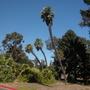 Chamaerops humilis - Very Tall Mediterranean Fan Palm (Chamaerops humilis - Mediterranean Fan Palm)