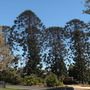 Araucaria bidwillii - Bunya-Bunya Pine