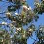 Ceiba speciosa (fka: Chorisia speciosa) - Kapok Tree, Floss Silk Tree (Ceiba speciosa (fka: Chorisia speciosa) - Kapok Tree, Floss Silk Tree)