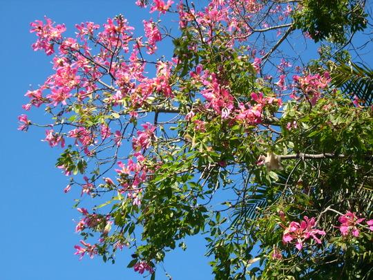 Ceiba speciosa (fka: Chorisia speciosa) - Kapok Tree, Floss Silk Tree (Ceiba speciosa (fka Chorisia speciosa) kapok tree Floss silk)
