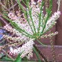 A garden flower photo (Tamarix aphylla (Tamarisk))