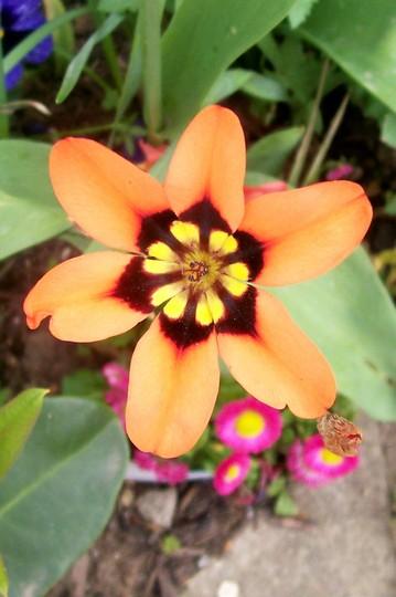 Harlequin Flower (Sparaxis tricolor (Harlequin Flower))