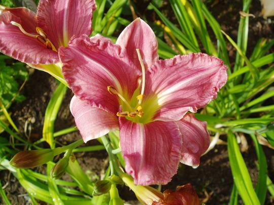 Daylily 'Mabel Nolen' (Hemerocallis)