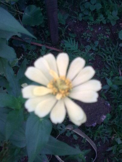 Creamy Zinnia (Zinnia)