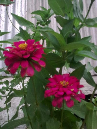 Dark Pink Zinnia (Zinnia)