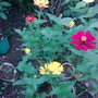 Zinnia - Mixed colors (Zinnia)