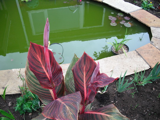 Canna Durban Ready To Flower (Canna indica (Indian shot plant) Durban)