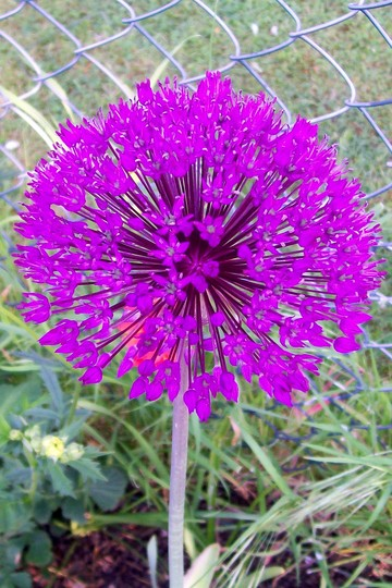 Purple Sensation (Allium)