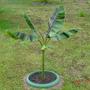 Banana Plant (Musa  Sikkimensis ?)