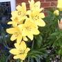Lilies_choc_foxglove_fuschia_002