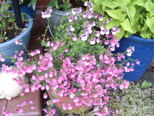 Diascia denim blue and little dancer
