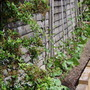 """my runner beans on the top of the """"hill"""" and some carrots"""