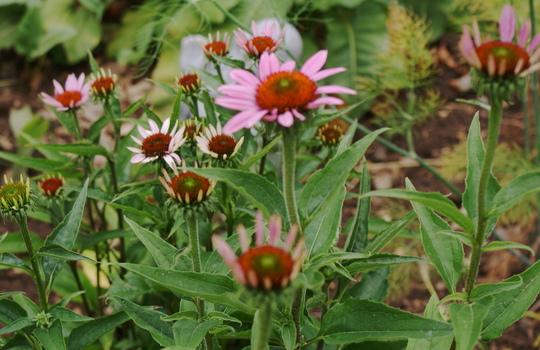 Coneflower,s (Echinacea Purpurea)