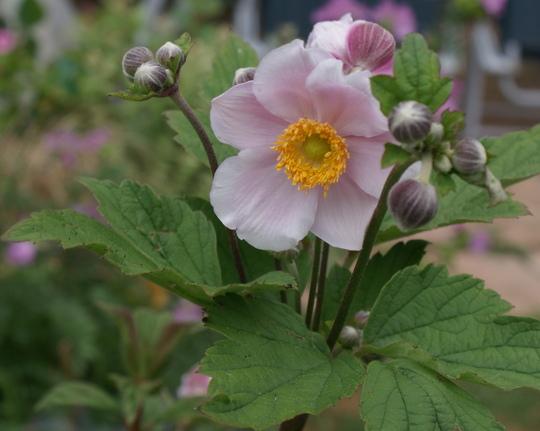 Anemone (Anemone hupehensis(Japanese Anemone))