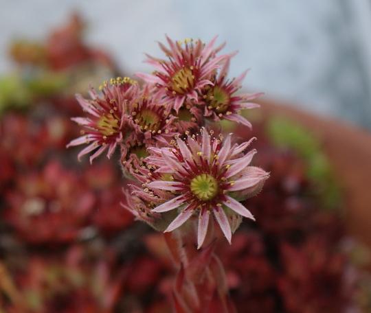 Houseleek  (Sempervivum tectorum)